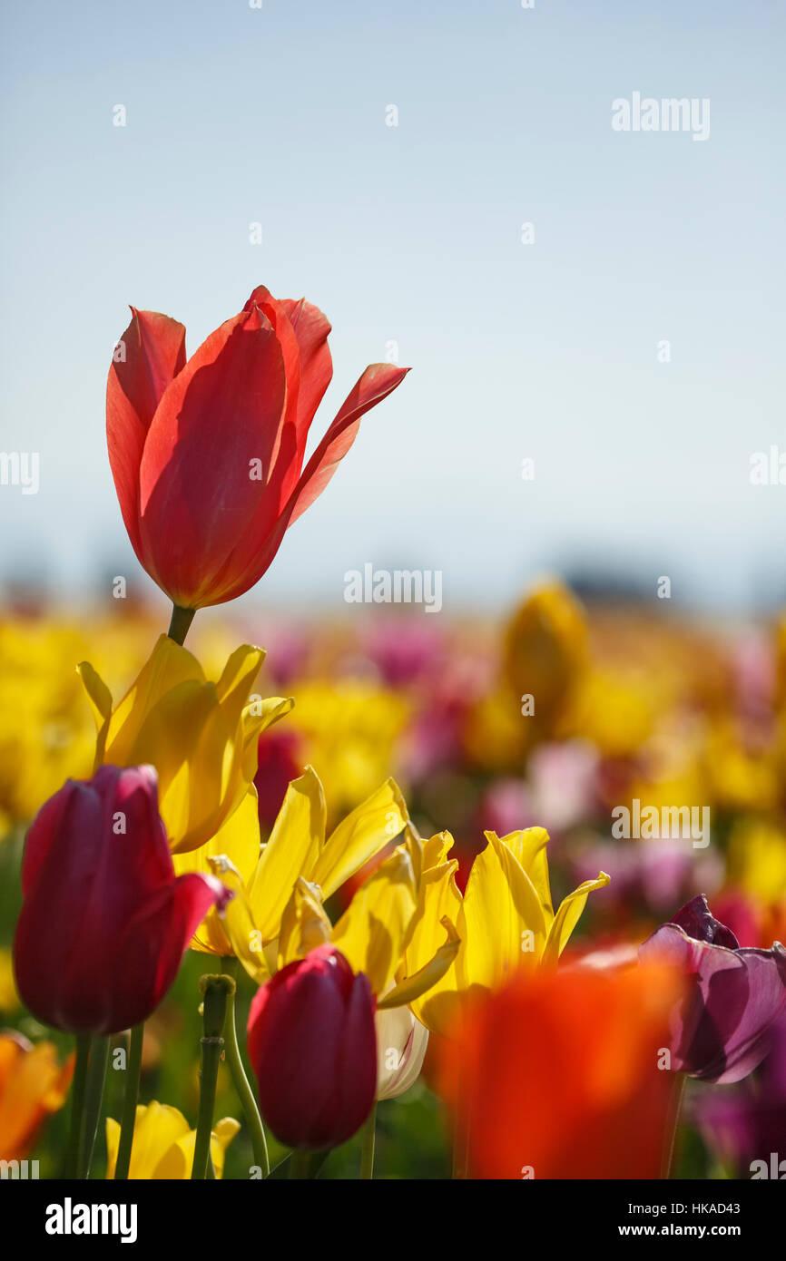 Colorful tulips, Tulip Fest, Wooden Shoe Tulip Farm, Woodburn, near Portland, Oregon USA Stock Photo