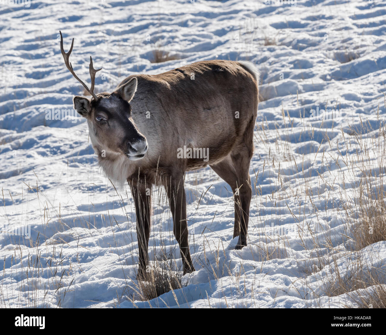 One horned caribou with snow and dried grasses, Whitehorse, Yukon Territory - Stock Image