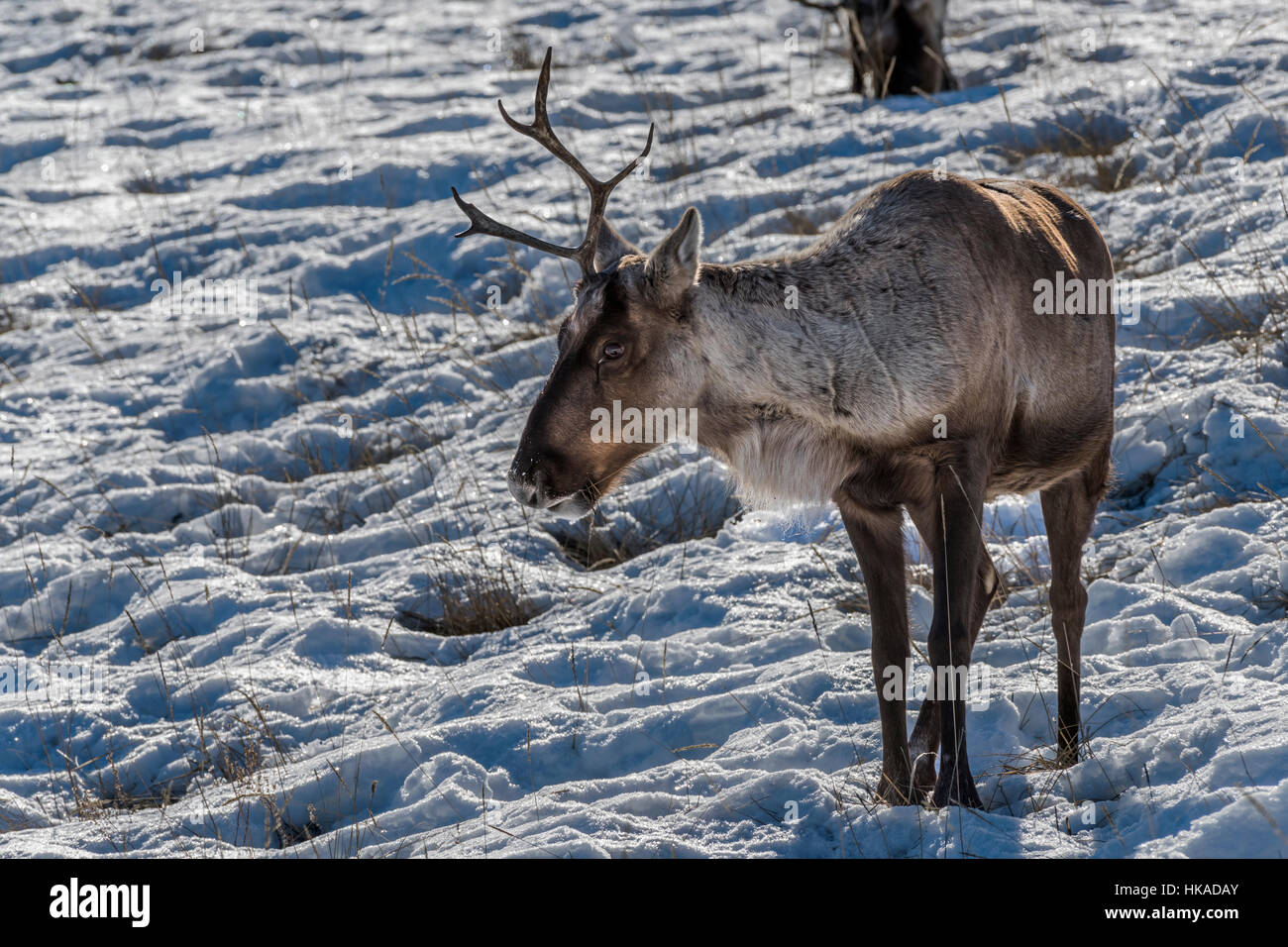 One-horned Boreal Woodland Caribou in the snow and dried grasses, near Whitehorse, Yukon Territory - Stock Image
