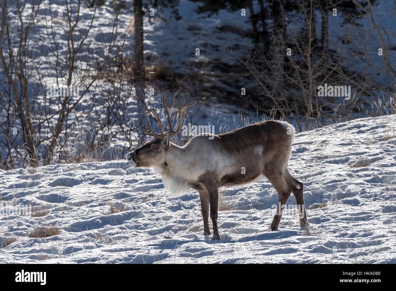 Boreal woodland caribou (Rangifer tarandus, reindeer) with rim light and snow drifting from muzzle, near Whitehorse, - Stock Image