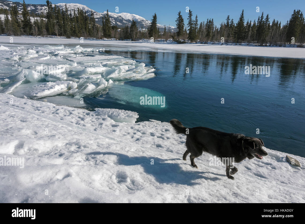 Early ice breakup with dog, shadow and reflections, Yukon River, Whitehorse, Yukon Territory - Stock Image