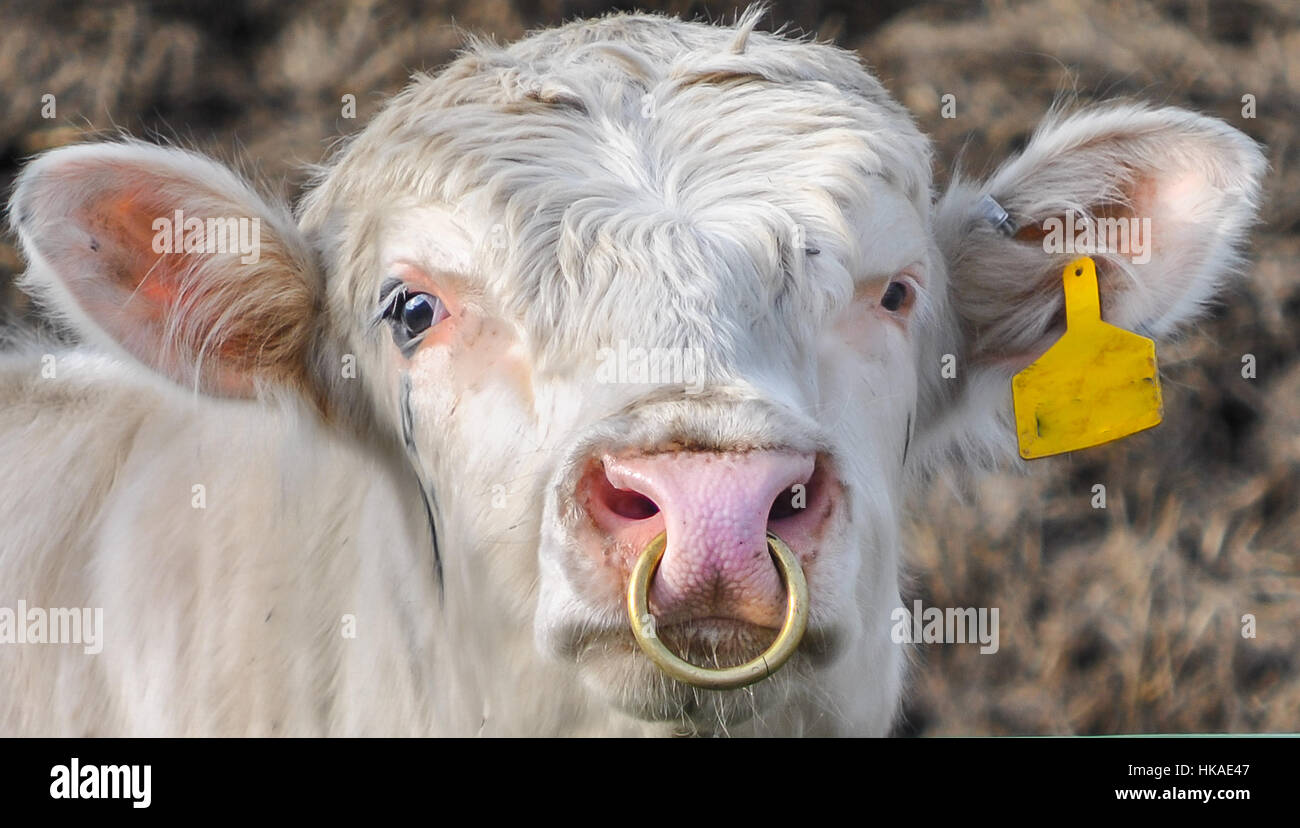 Bull With Ring In Nose Stock Photos Bull With Ring In Nose Stock