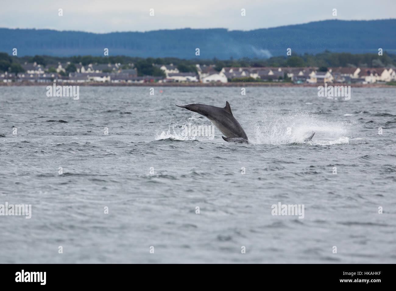 Bottlenose Dolphin; Tursiops truncates; Jumping Morray Firth; Scotland; UK Stock Photo