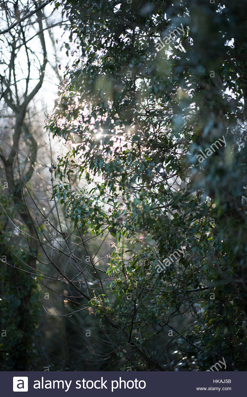 Winter sunlight through ivy clad trees. - Stock Image