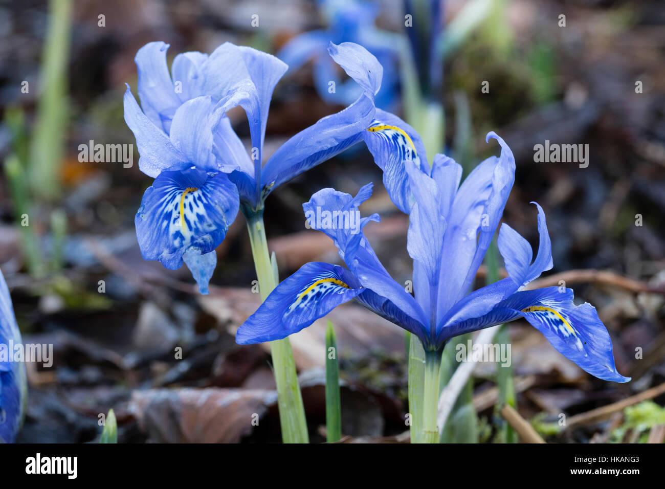 Iris Histrioides Stock Photos Iris Histrioides Stock Images Alamy