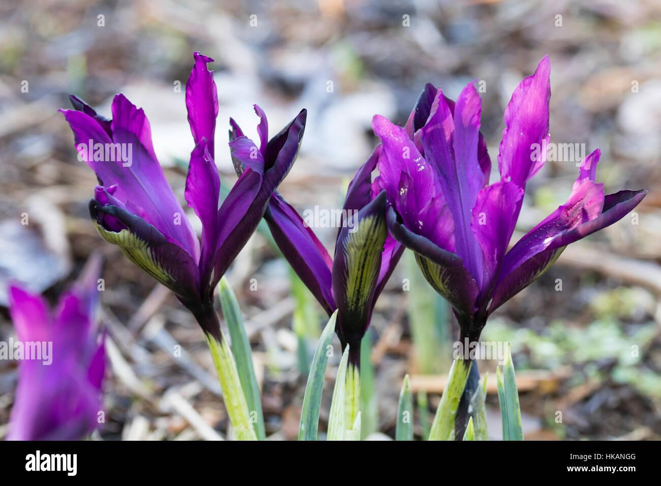 Purple Winter Flowers Of The Dwarf Reticulata Type Iris Iris Stock