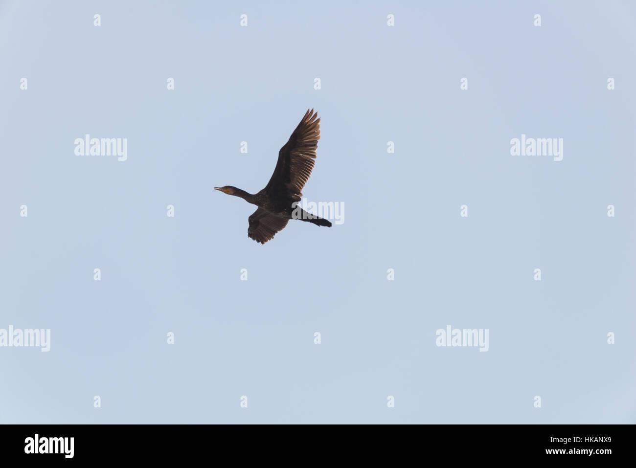 Pelican migration at Viker lookout, Israel - Stock Image