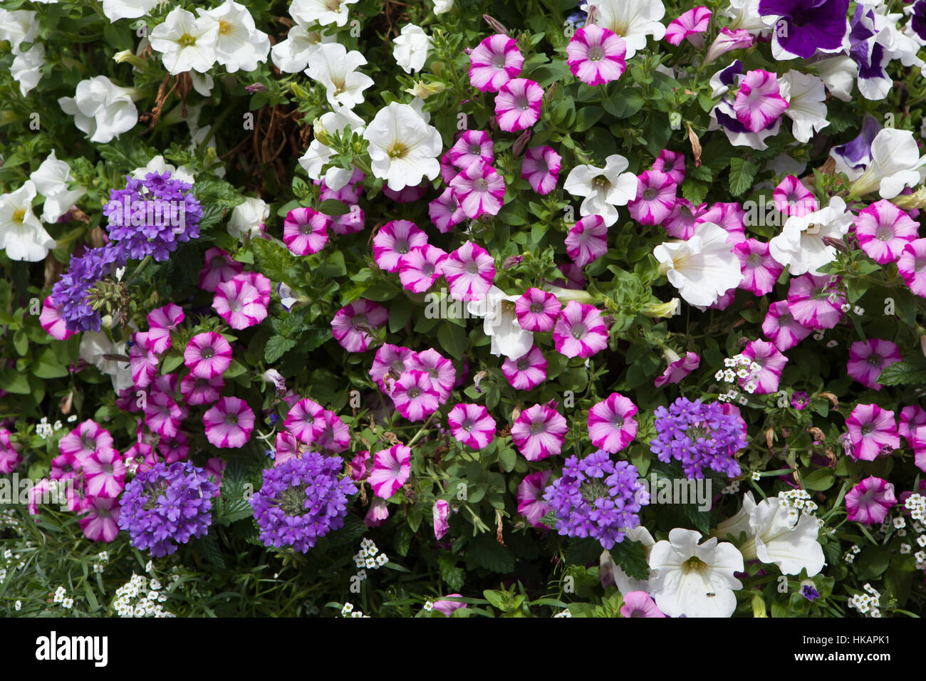Petunia flowers. Background texture. France. - Stock Image