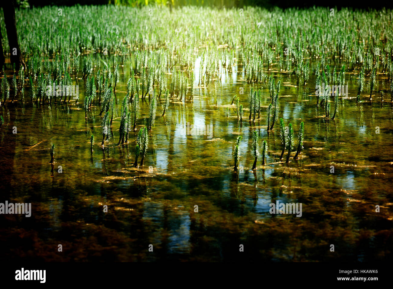 shallow lake with many young growing plants and sunlight Stock Photo