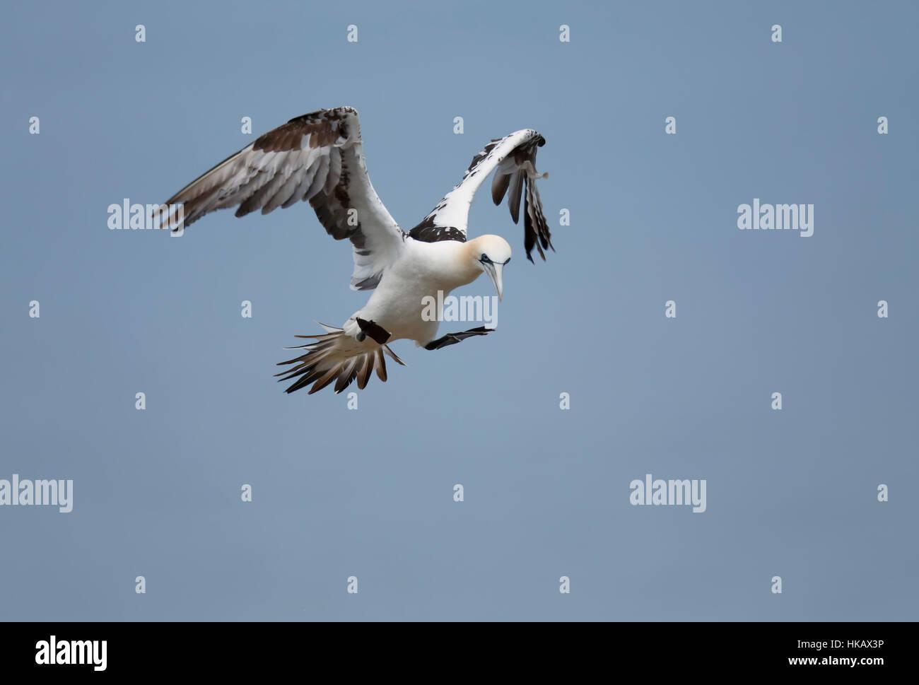 Gannet hovering Yorkshire Bempton Cliffs - Stock Image