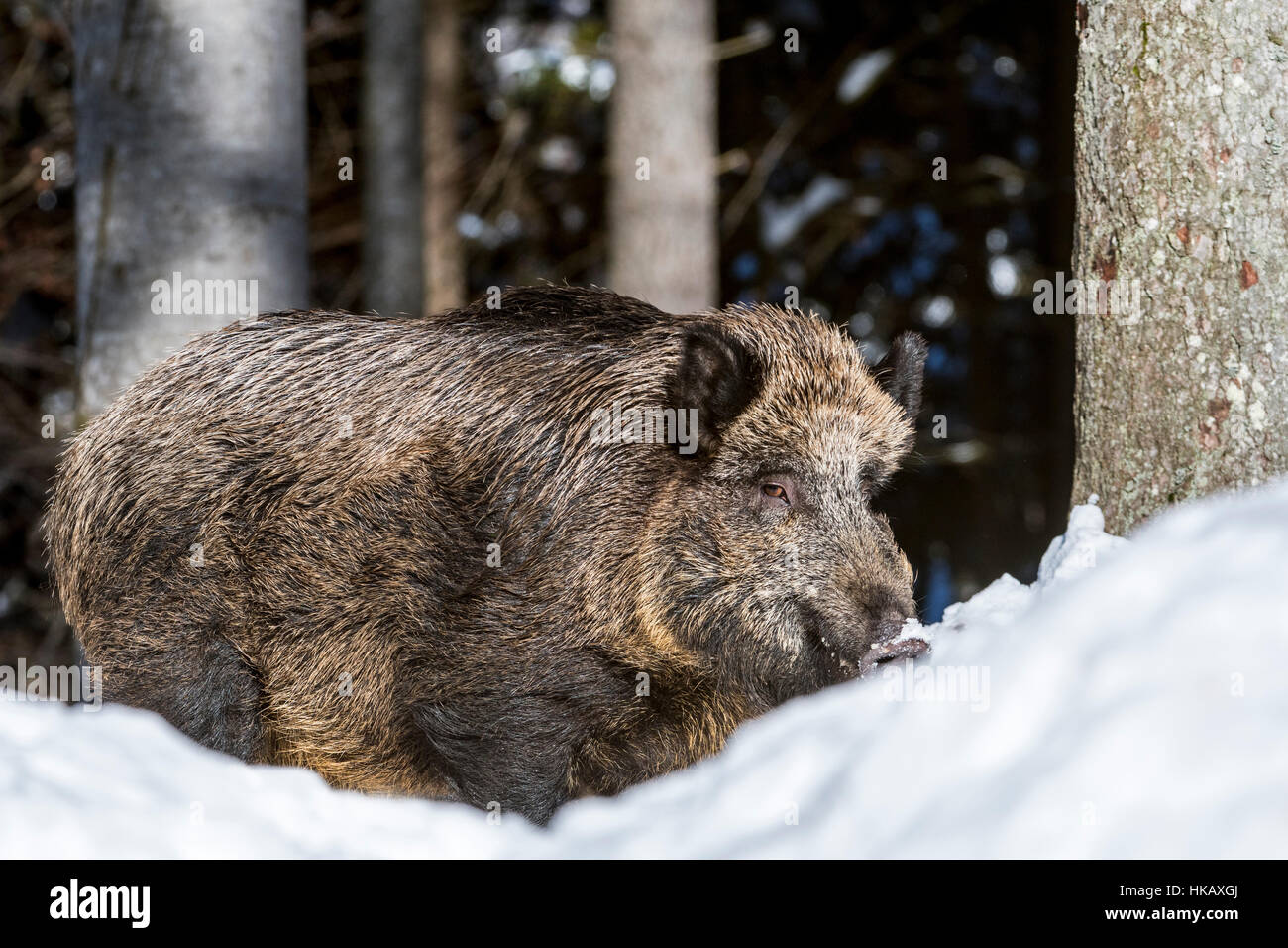 Wild pig (Sus scrofa) boar foraging in deep snow in pine forest in winter Stock Photo