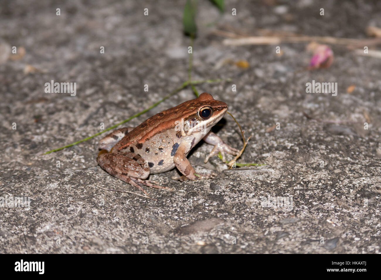 Brown wood frog (Hylarana latouchii) in Heping District, Taichung City, Taiwan - Stock Image