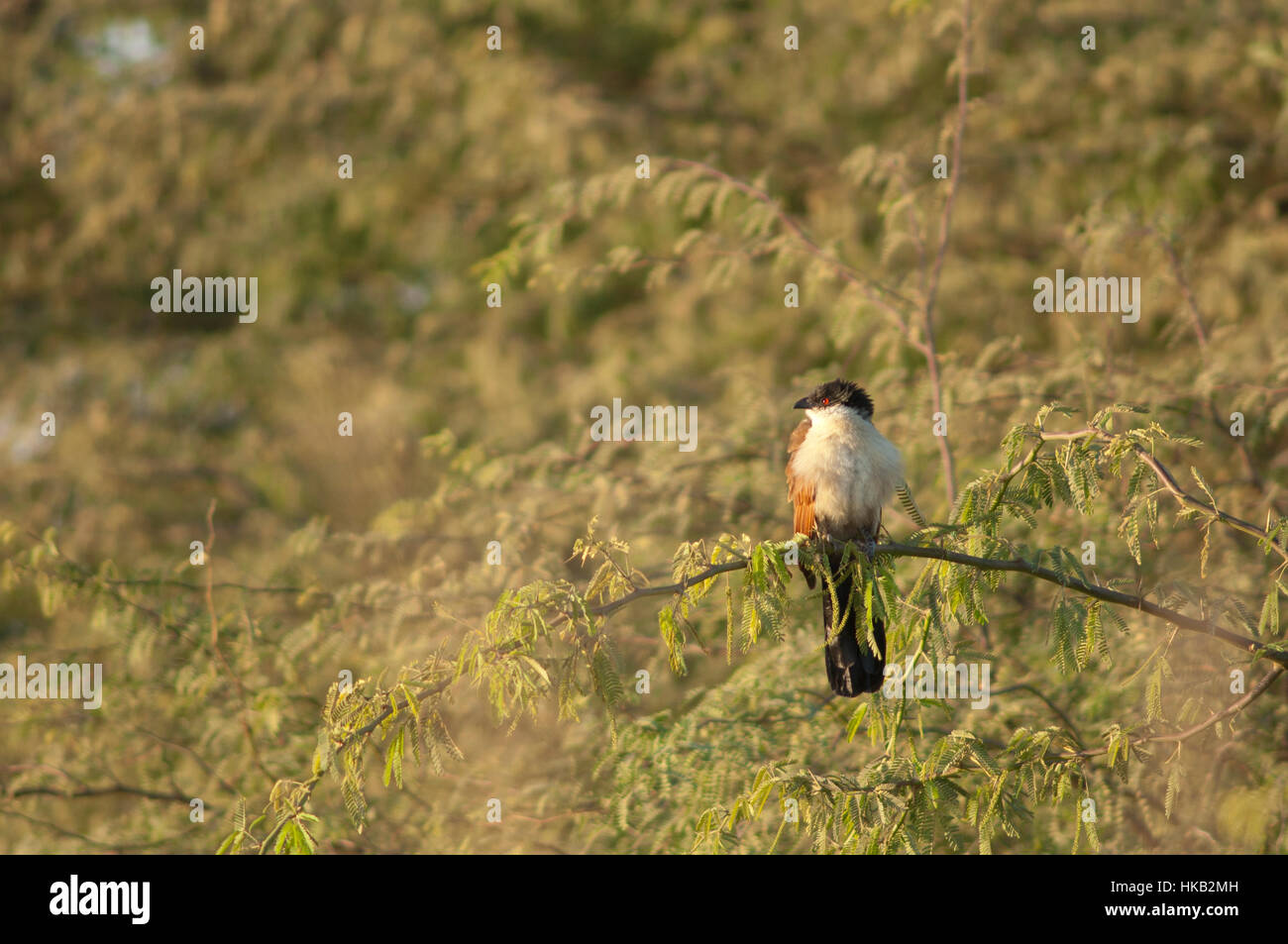 Senegal coucal (Centropus senegalensis). Langue de Barbarie National Park. Saint-Louis. Senegal. - Stock Image