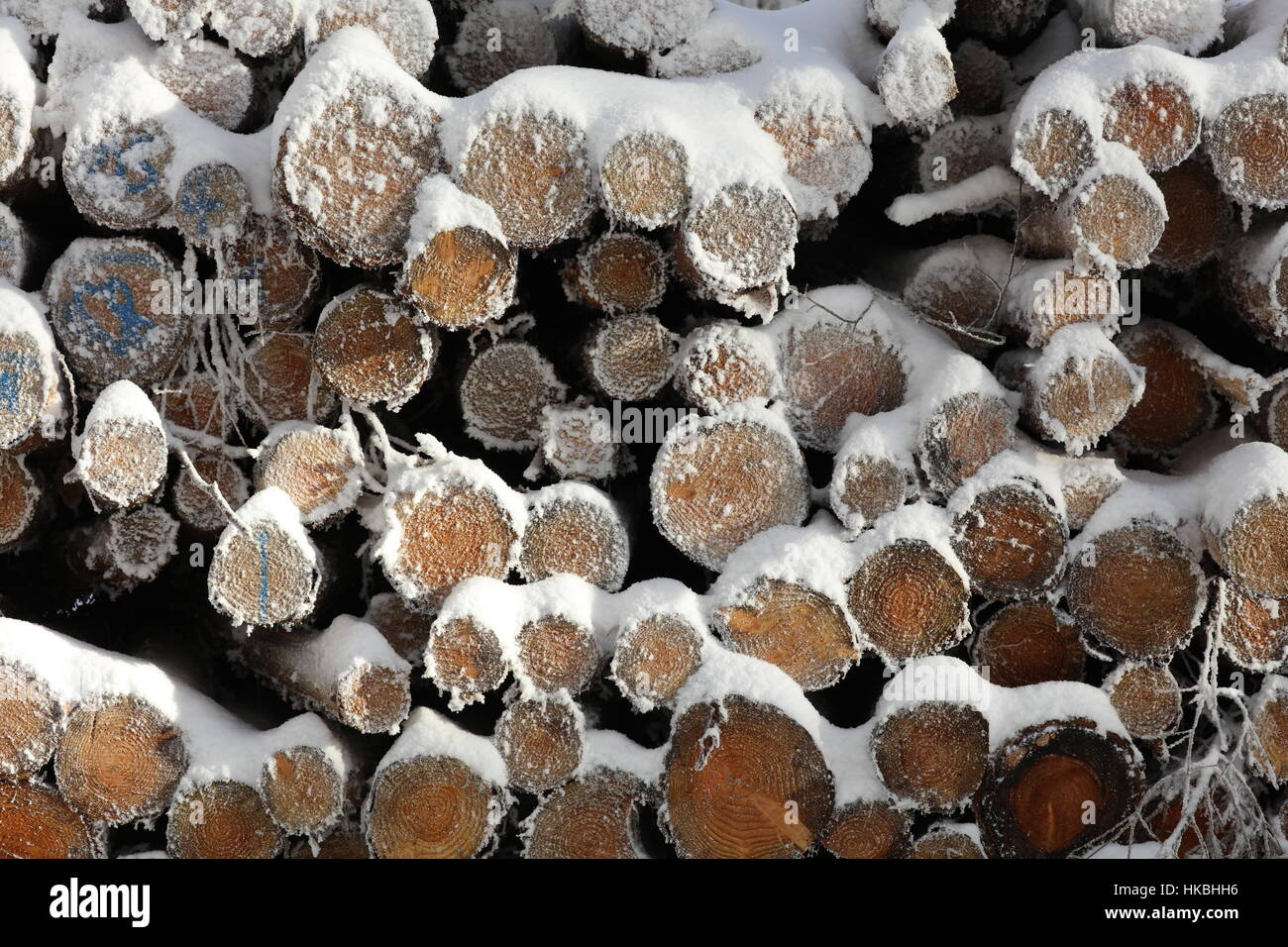 Felled trees in forest - Stock Image