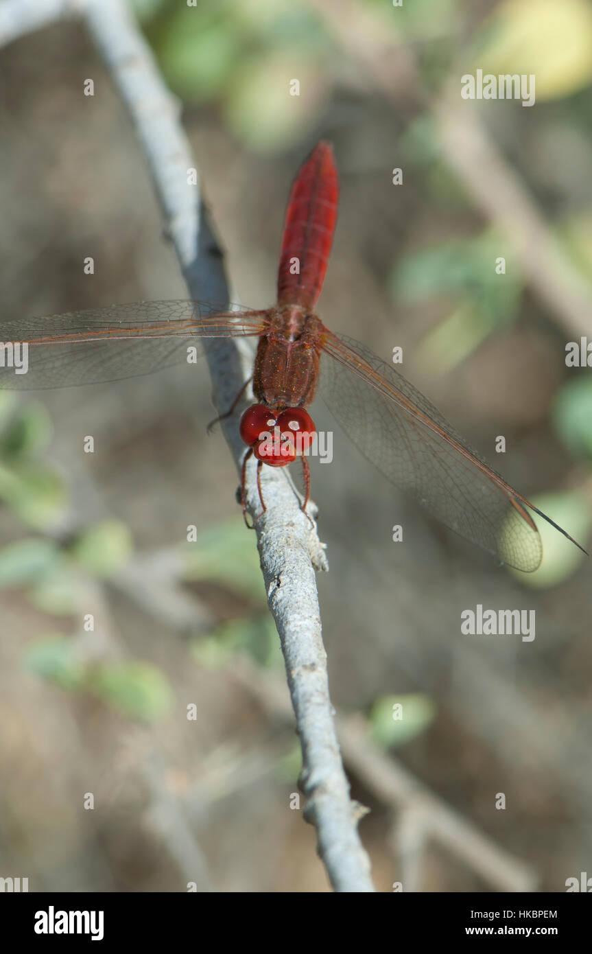 Scarlet darter (Crocothemis erythraea). Oiseaux du Djoudj National Park. Saint-Louis. Senegal. Stock Photo