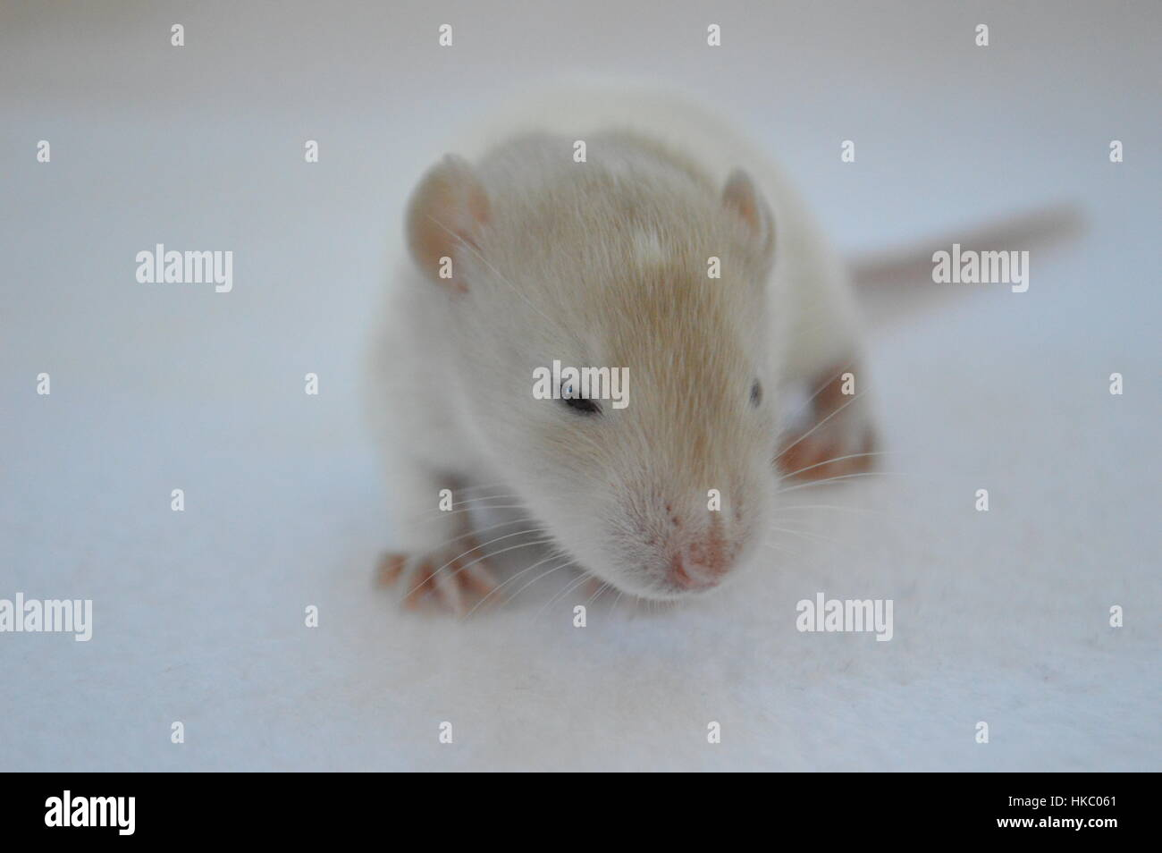 Baby rat on white background - Stock Image