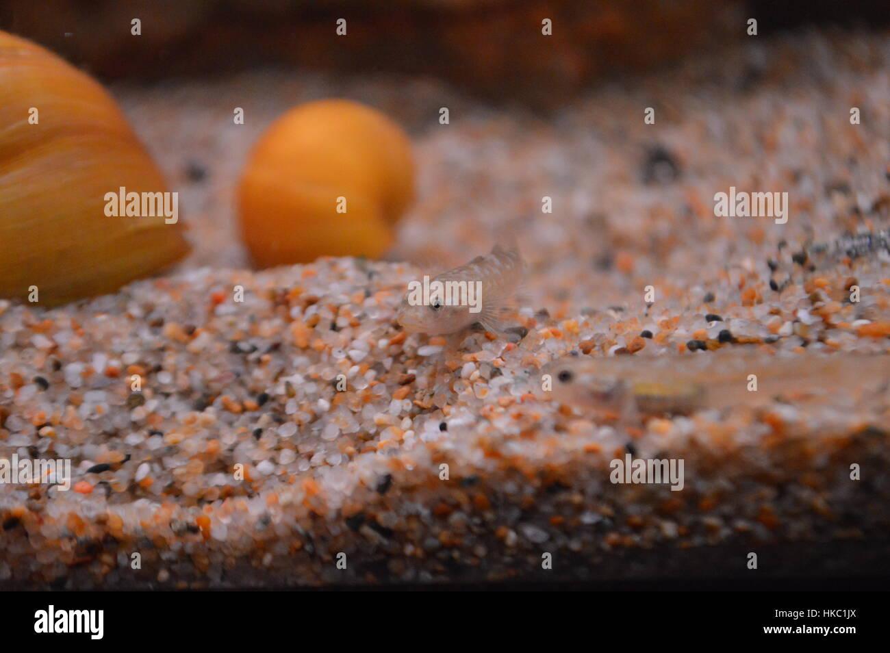 Australian Desert Goby - Stock Image