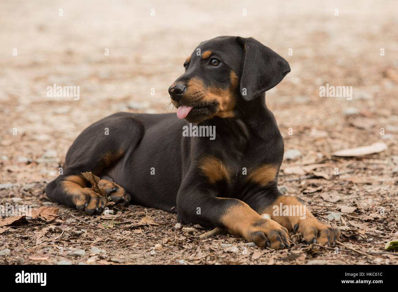 Doberman pinscher puppy rests on the ground after playing at the family farm in North Carolina. - Stock Image