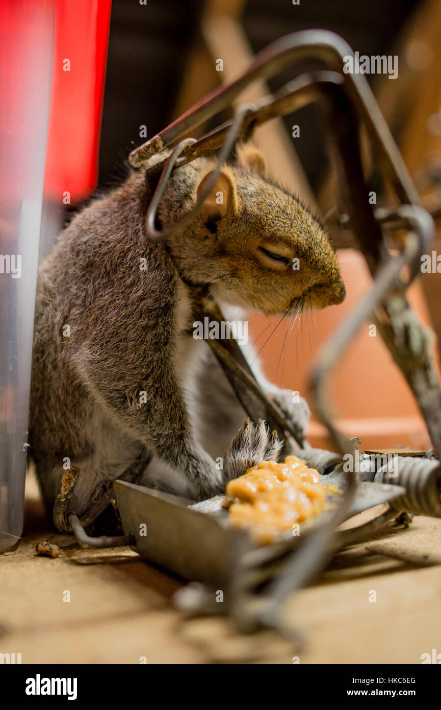 Dead Grey squirrel in trap within domestic dwelling, - Stock Image