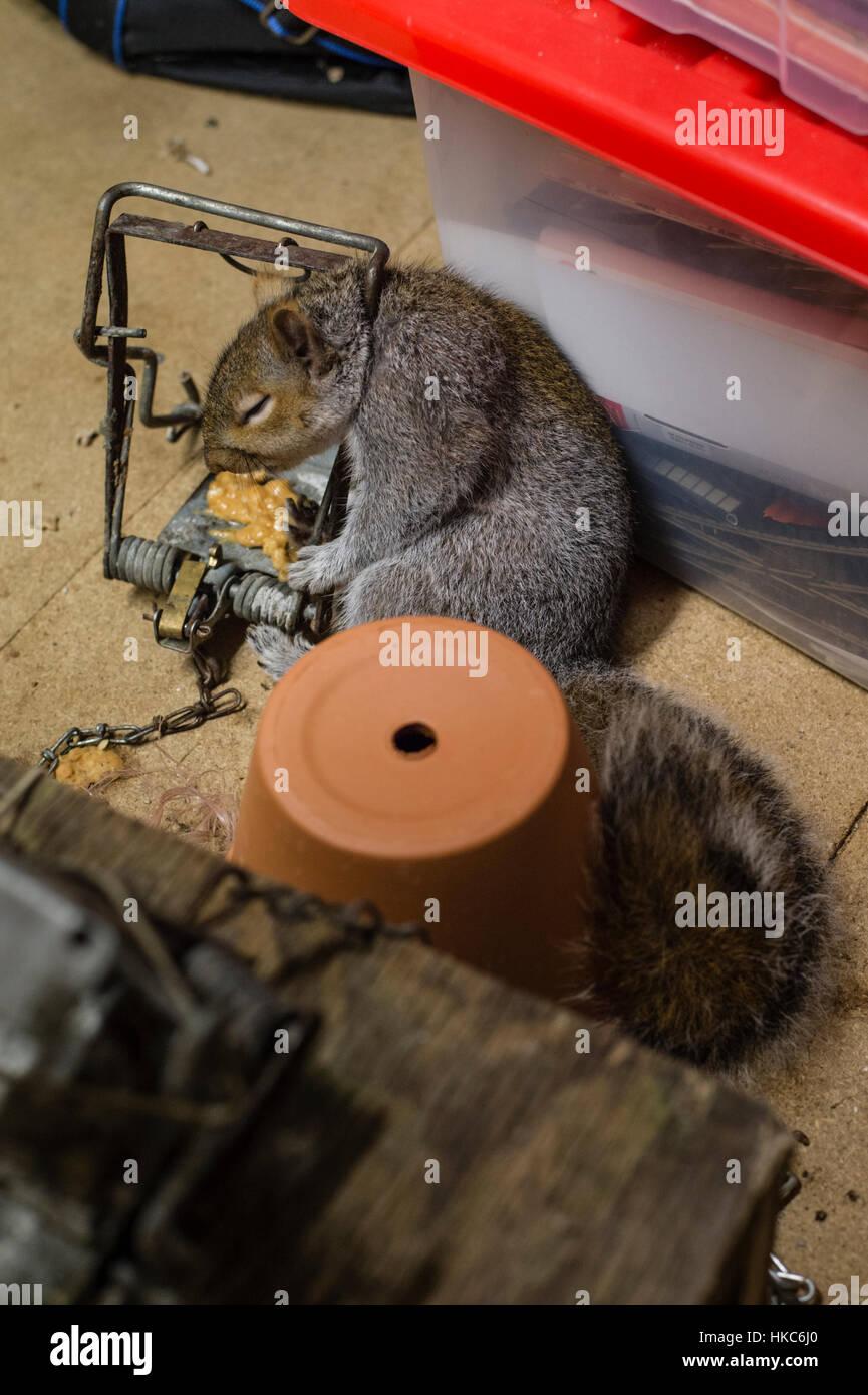 Dead grey squirrel caught in trap in domestic dwelling loft / attic - Stock Image