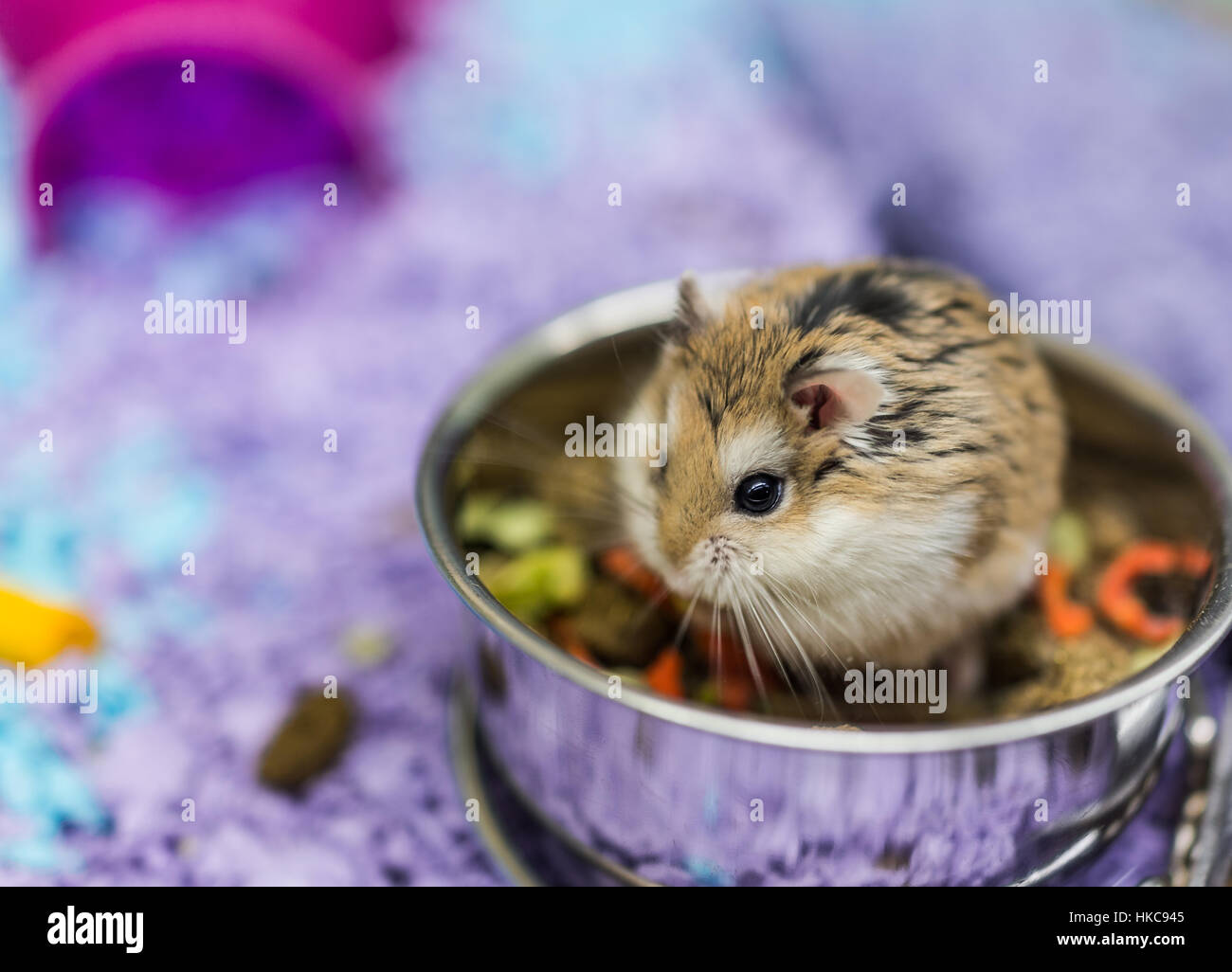 Hamster Eating Stock Photos & Hamster Eating Stock Images