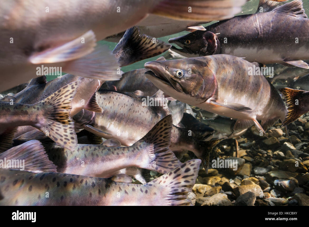 Underwater view of migrating pink salmon in Hartney Creek near Cordova, Alaska in the summer. - Stock Image