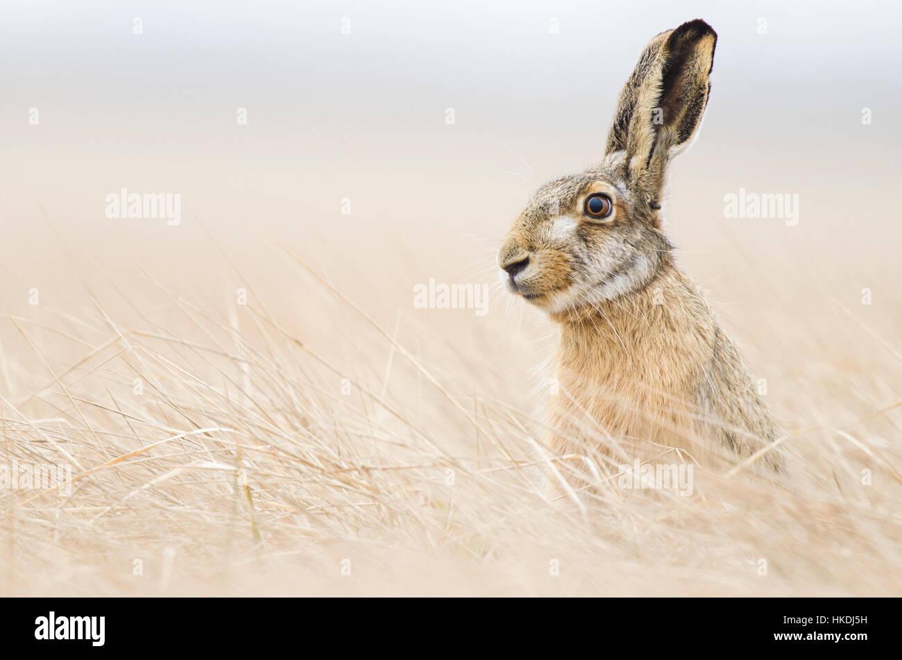 European hare (Lepus europaeus) sitting, Lake Neusiedl, Seewinkel, Burgenland, Austria - Stock Image