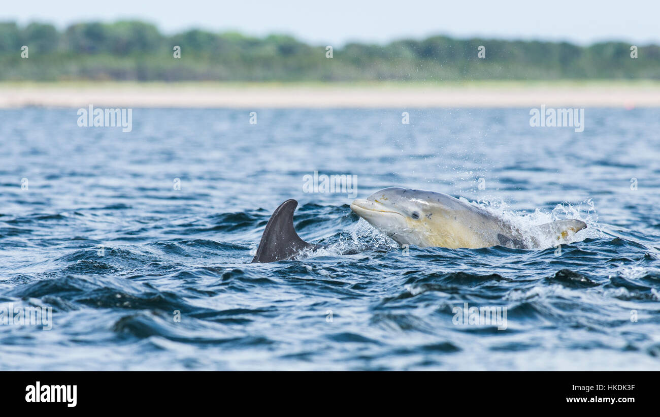 Common bottlenose dolphin (Tursiops truncatus) in bay, Chanonry Point, Moray Firth, Inverness, Scotland, United - Stock Image