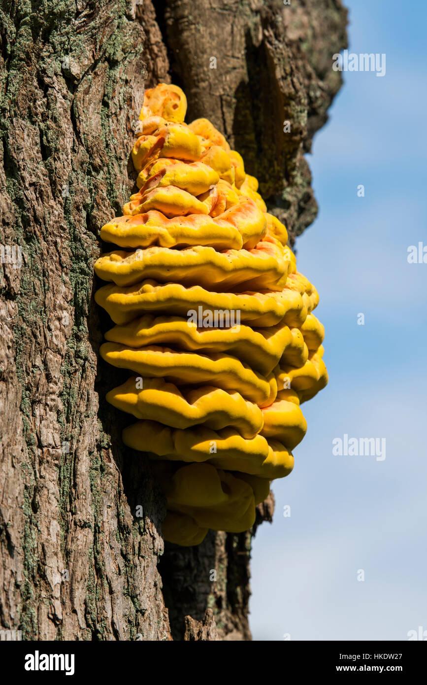 Sulphur polypore (Laetiporus sulphureus), fruit body on oak