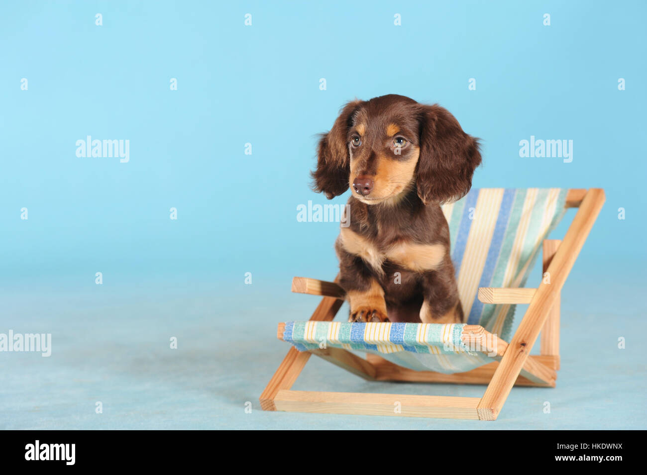 Miniature Dachshund Dog Puppy In Stock Photos & Miniature Dachshund ...