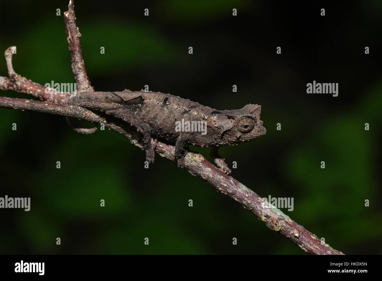 Stub-tailed chameleon (Brookesia brunoi), male, Anja community reserve, Madagascar - Stock Image