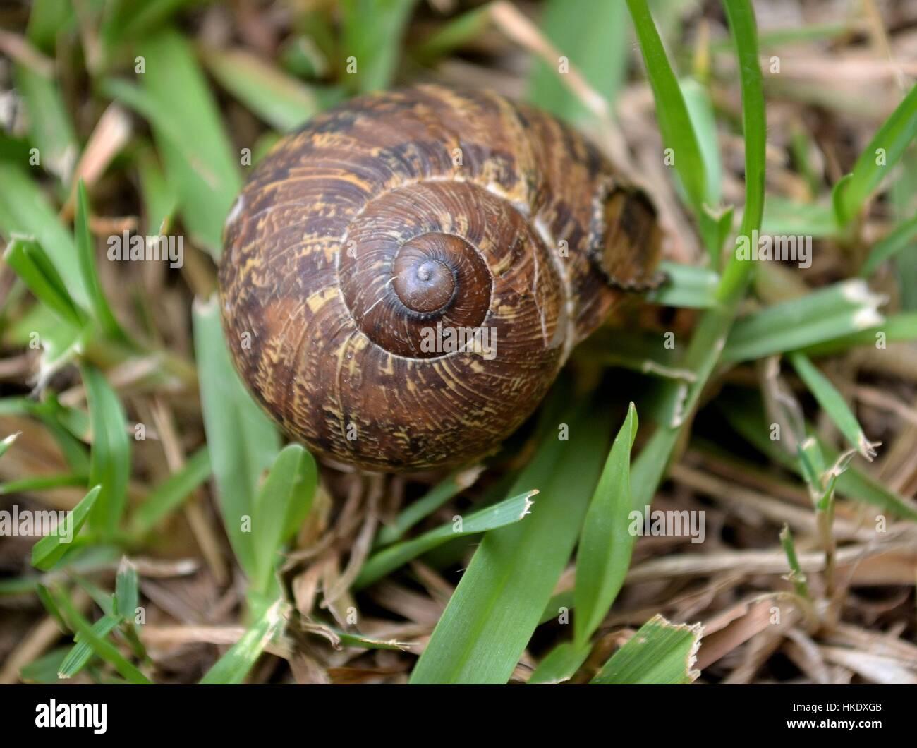 Garden snail in the grass - Stock Image
