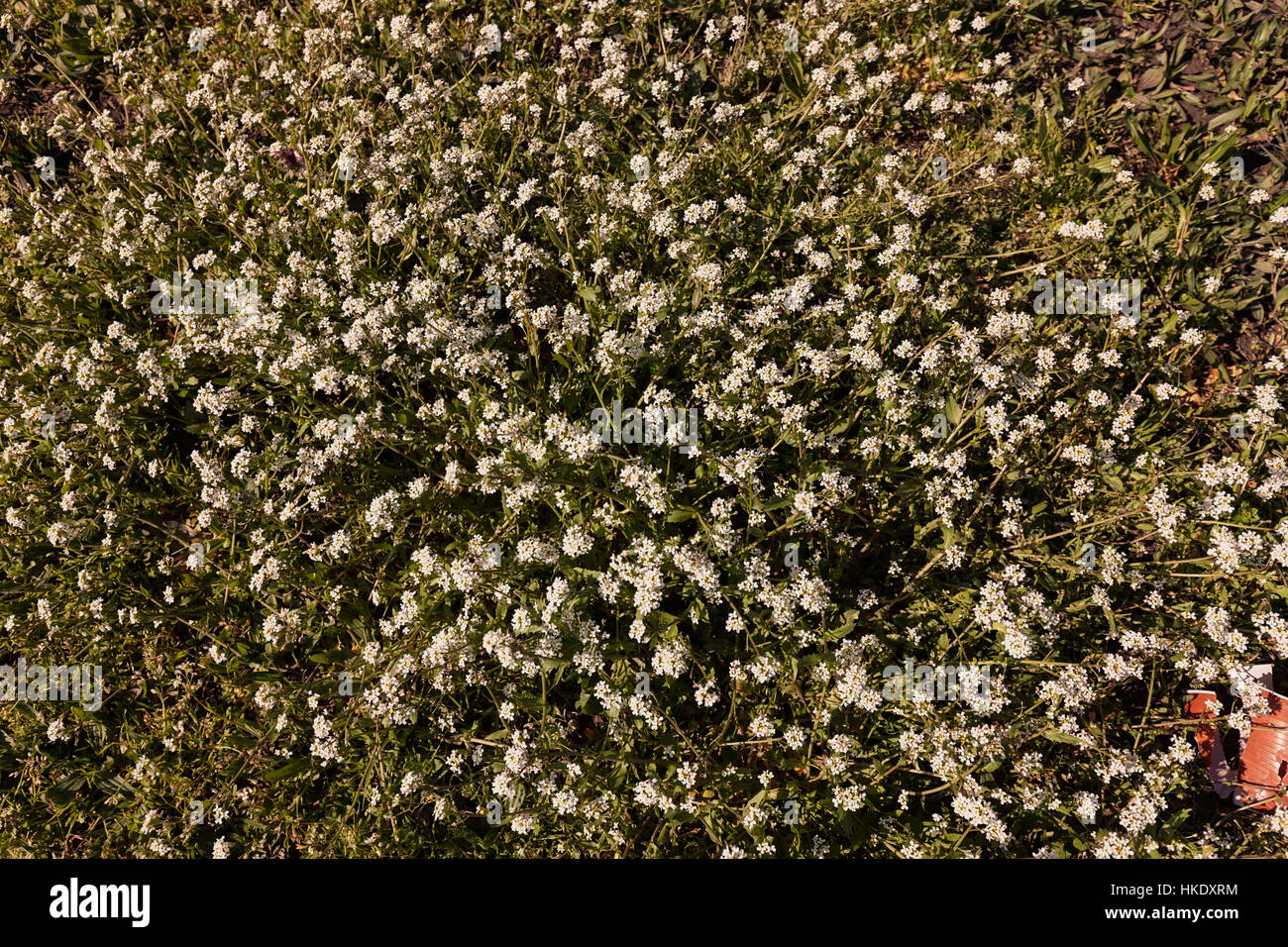 Kinds of small white flowers in the meadow note shallow depth of kinds of small white flowers in the meadow note shallow depth of field mightylinksfo