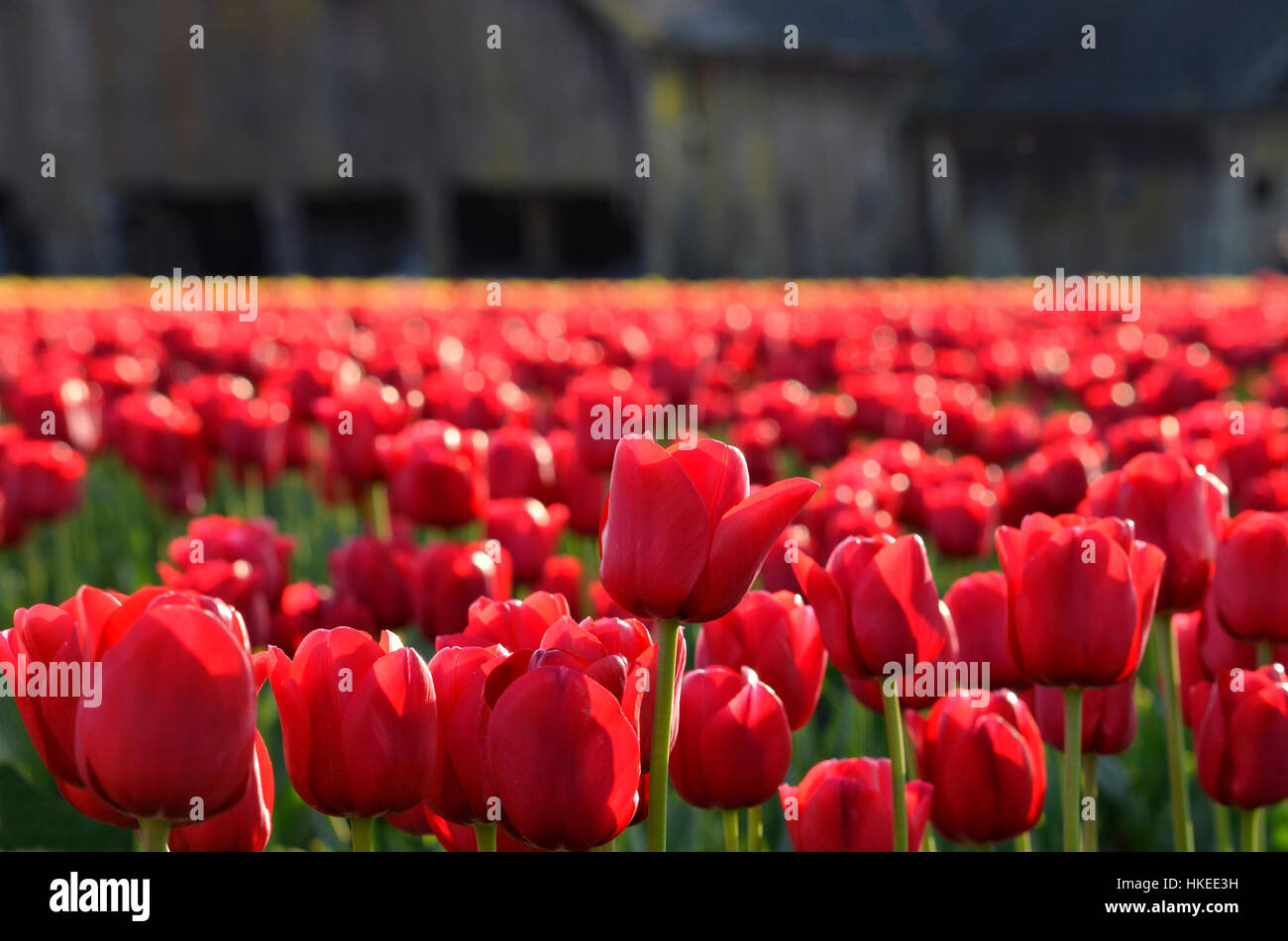 Field of red tulips in the Skagit Valley, Washington. Closeup of red tulip field with old barn in the background. - Stock Image
