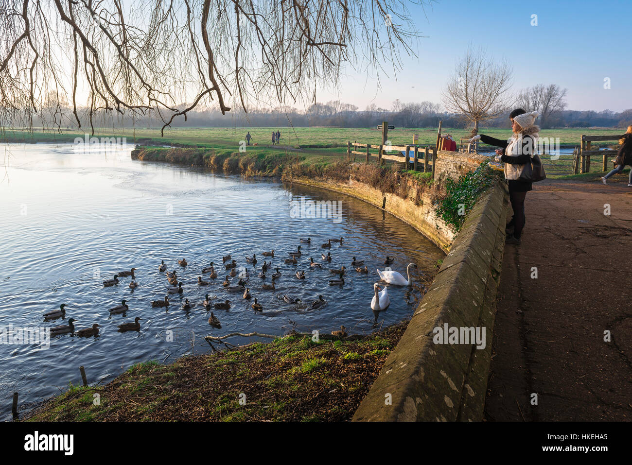 Feeding ducks, view of a young couple feeding ducks along the River Stour, Babergh district, Suffolk UK. - Stock Image