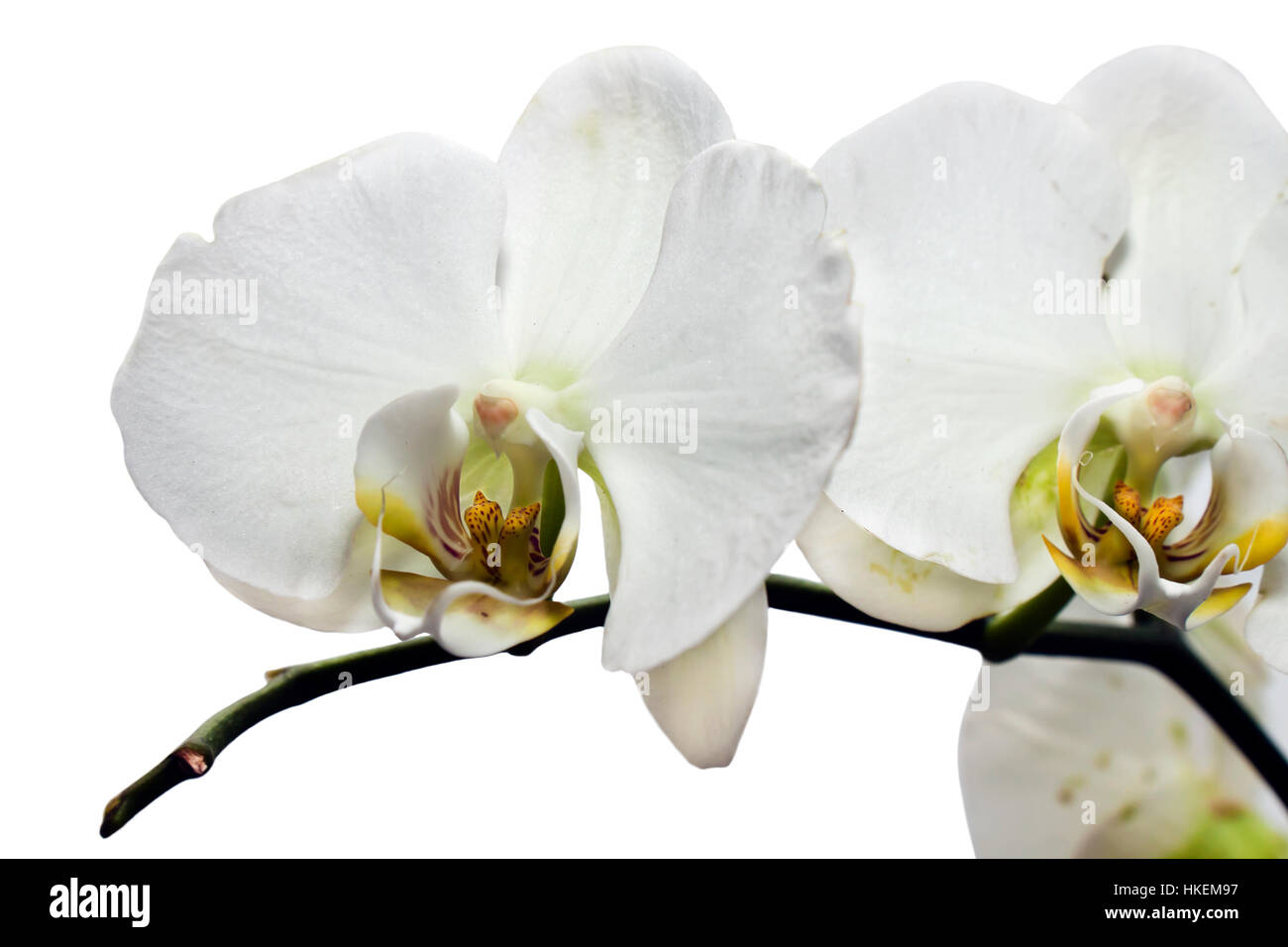 white flower of orchid Stock Photo