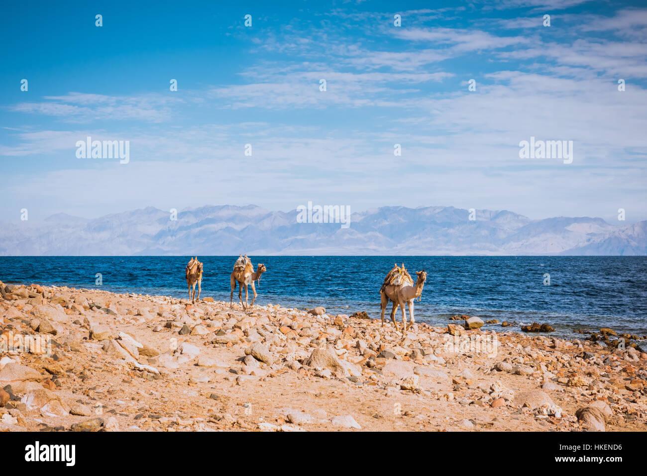 Camels on desert beach coast Sinai, Egypt, Africa - Stock Image