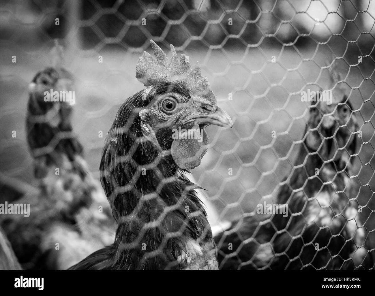 Chicken looking through wire fence - Stock Image