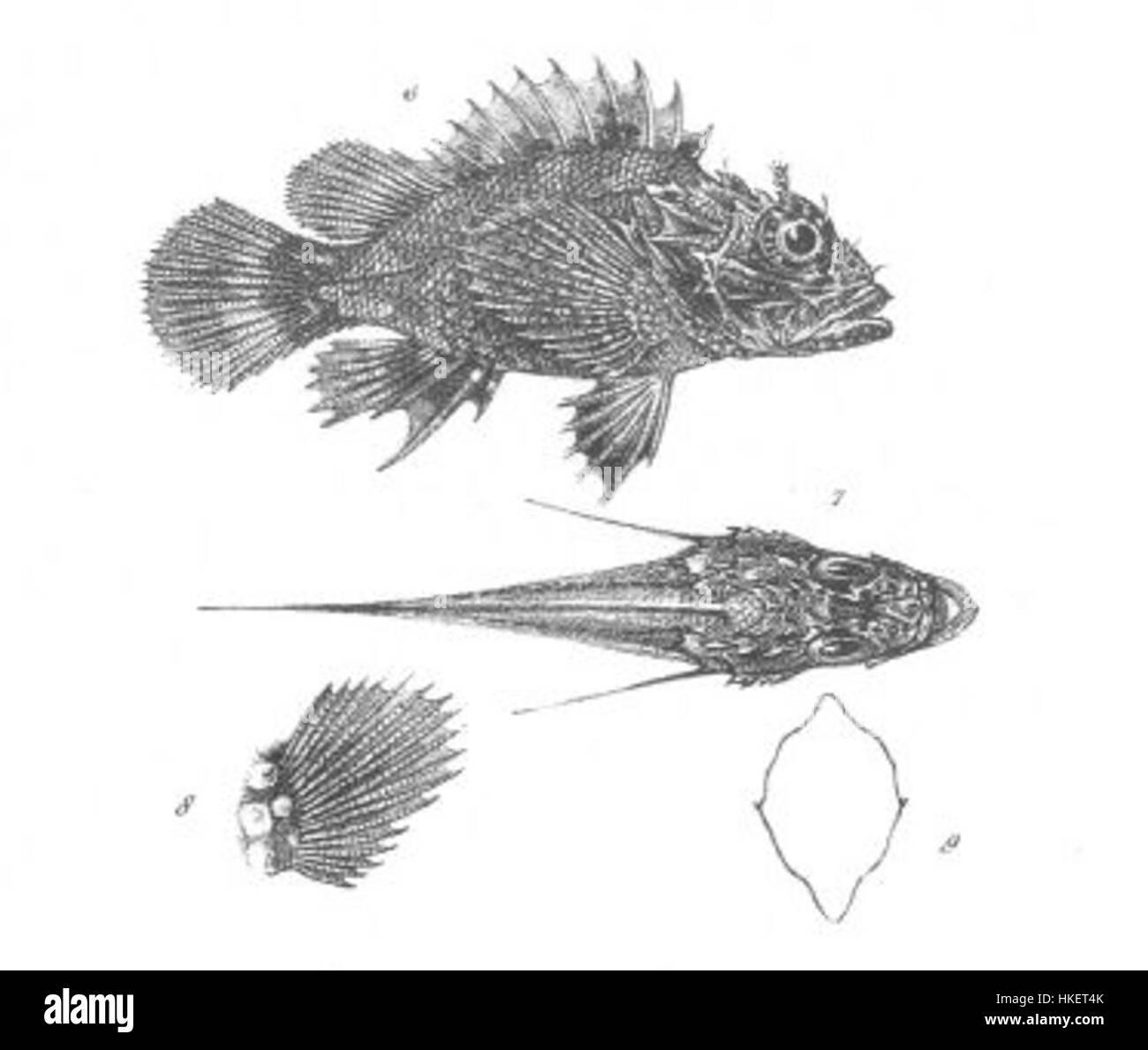 Scorpaena Stokesii (Discoveries in Australia) - Stock Image