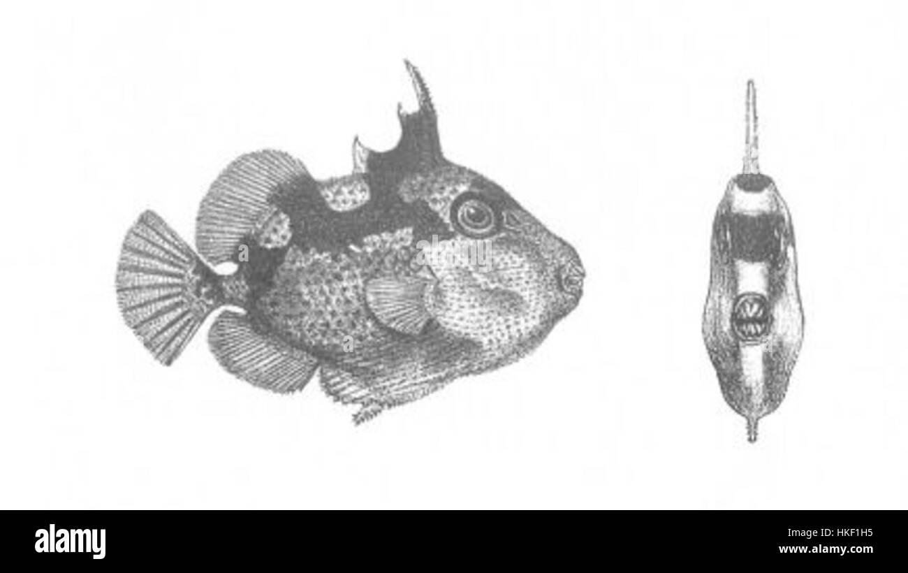 Balistes Phaleratus (Discoveries in Australia) - Stock Image