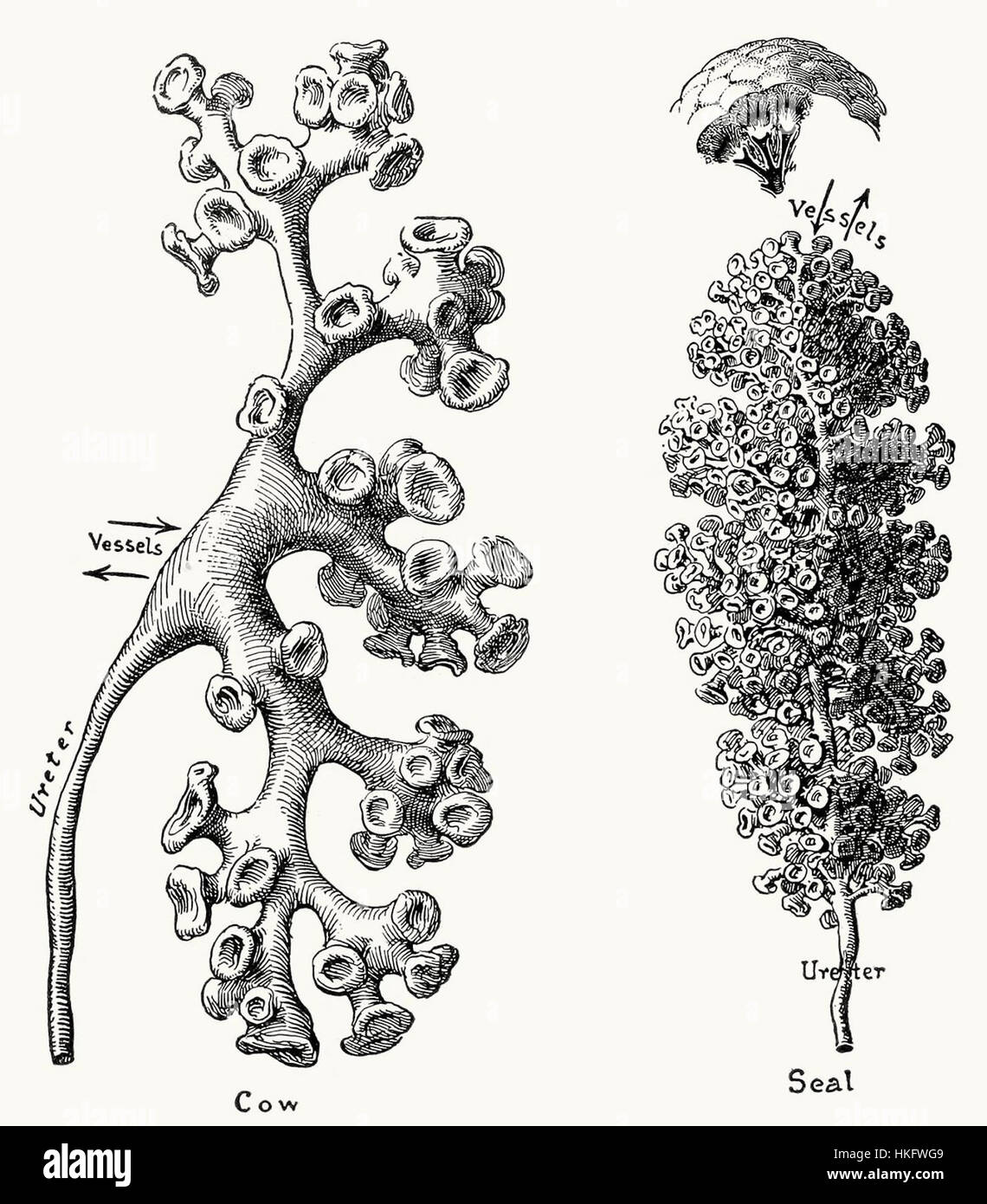 Renal pelves and calices - Stock Image