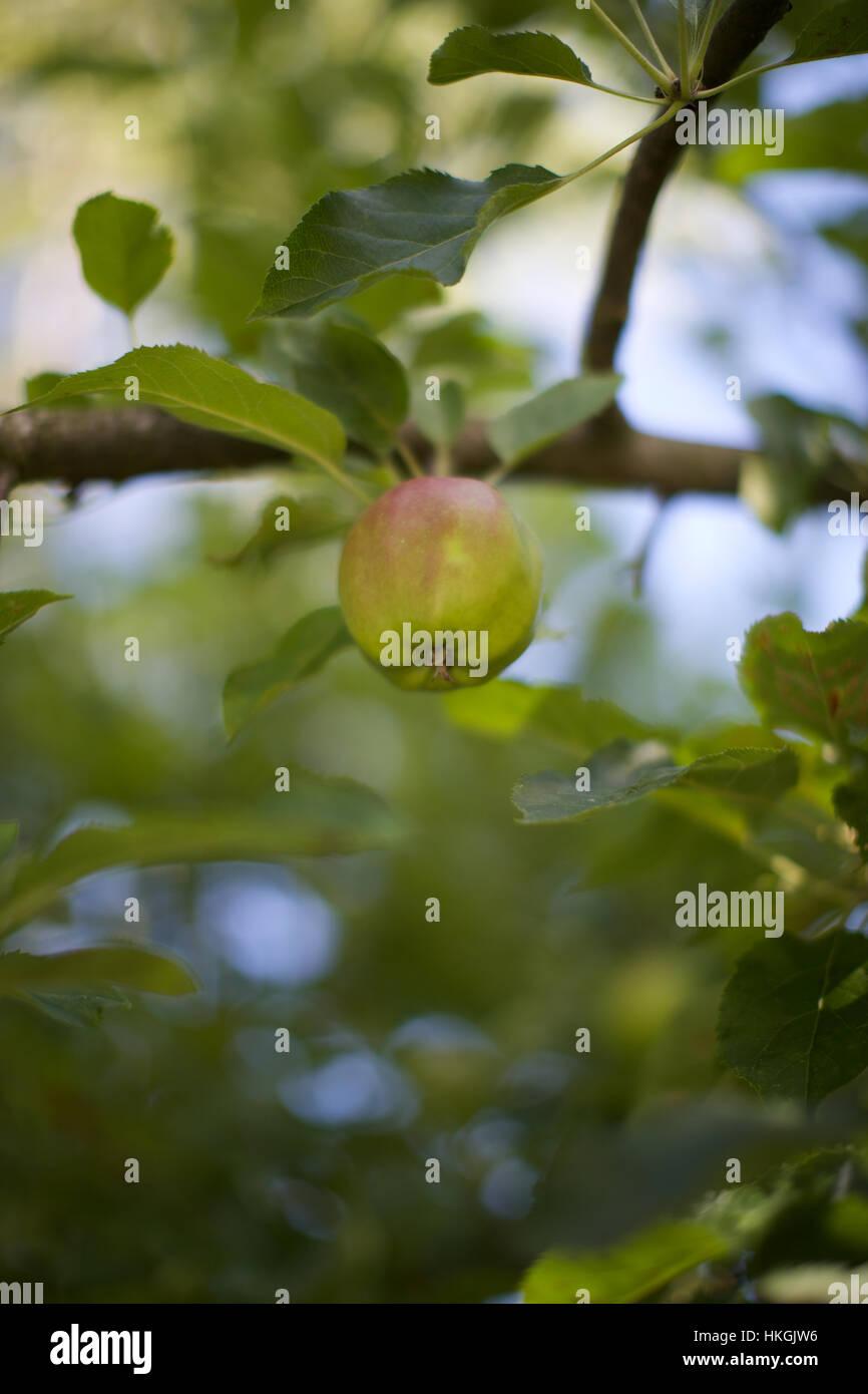green apple on tree. leaf, fruit tree, food, apple. - Stock Image