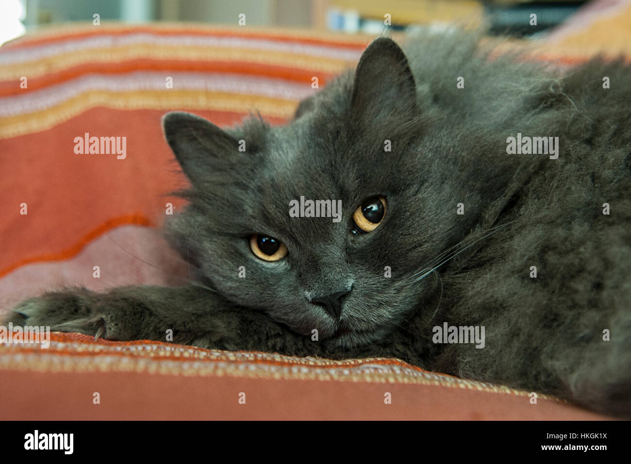 A grey longhaired cat relaxing in the sofa Stock Photo