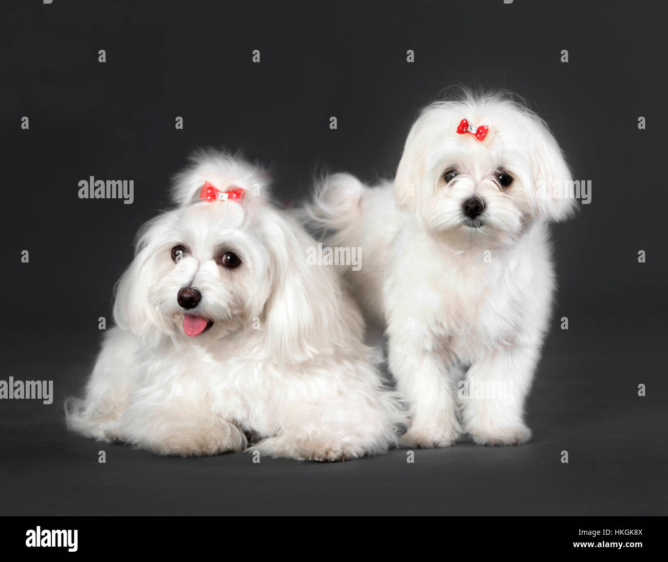 Couple of bichon maltese dog male and female in studio - Stock Image