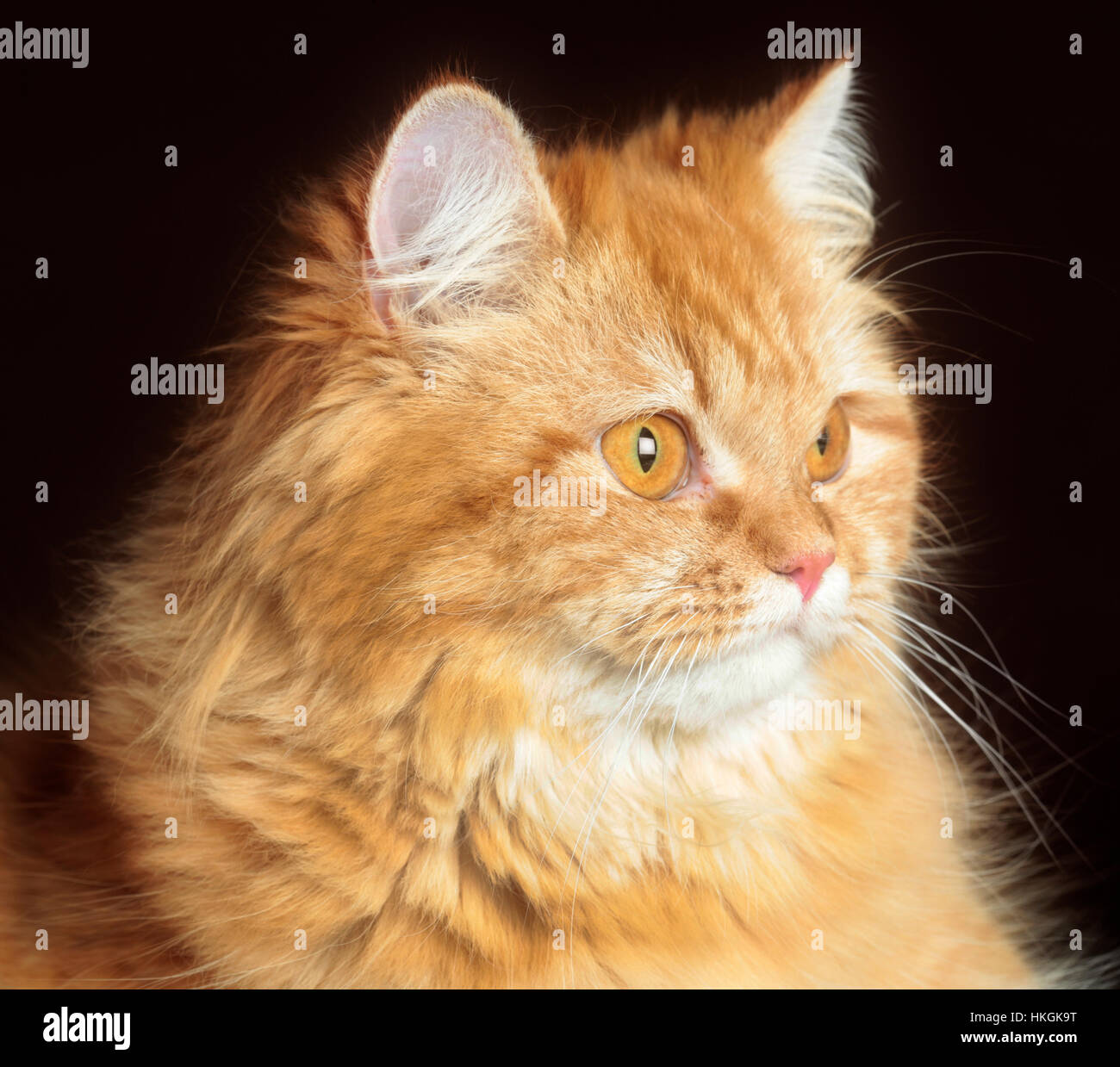 Brown Cat portrait in studio with brown background - Stock Image