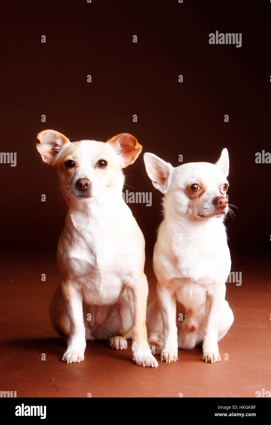 Mixed dog female and chihuahua male portrait in studio - Stock Image