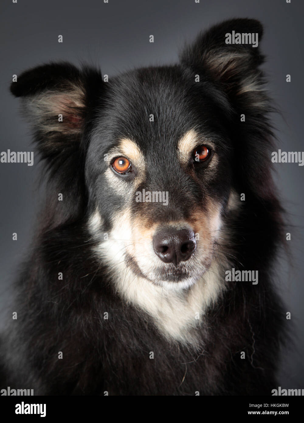 Mixed dog portrait in studio with grey background - Stock Image
