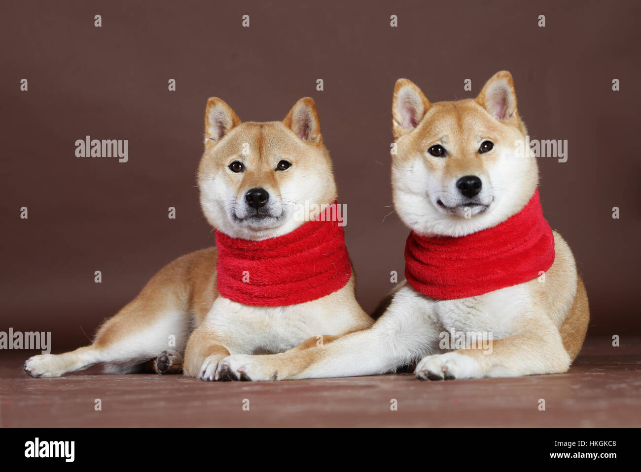 Shiba Inu couple of female with scarf in studio - Stock Image