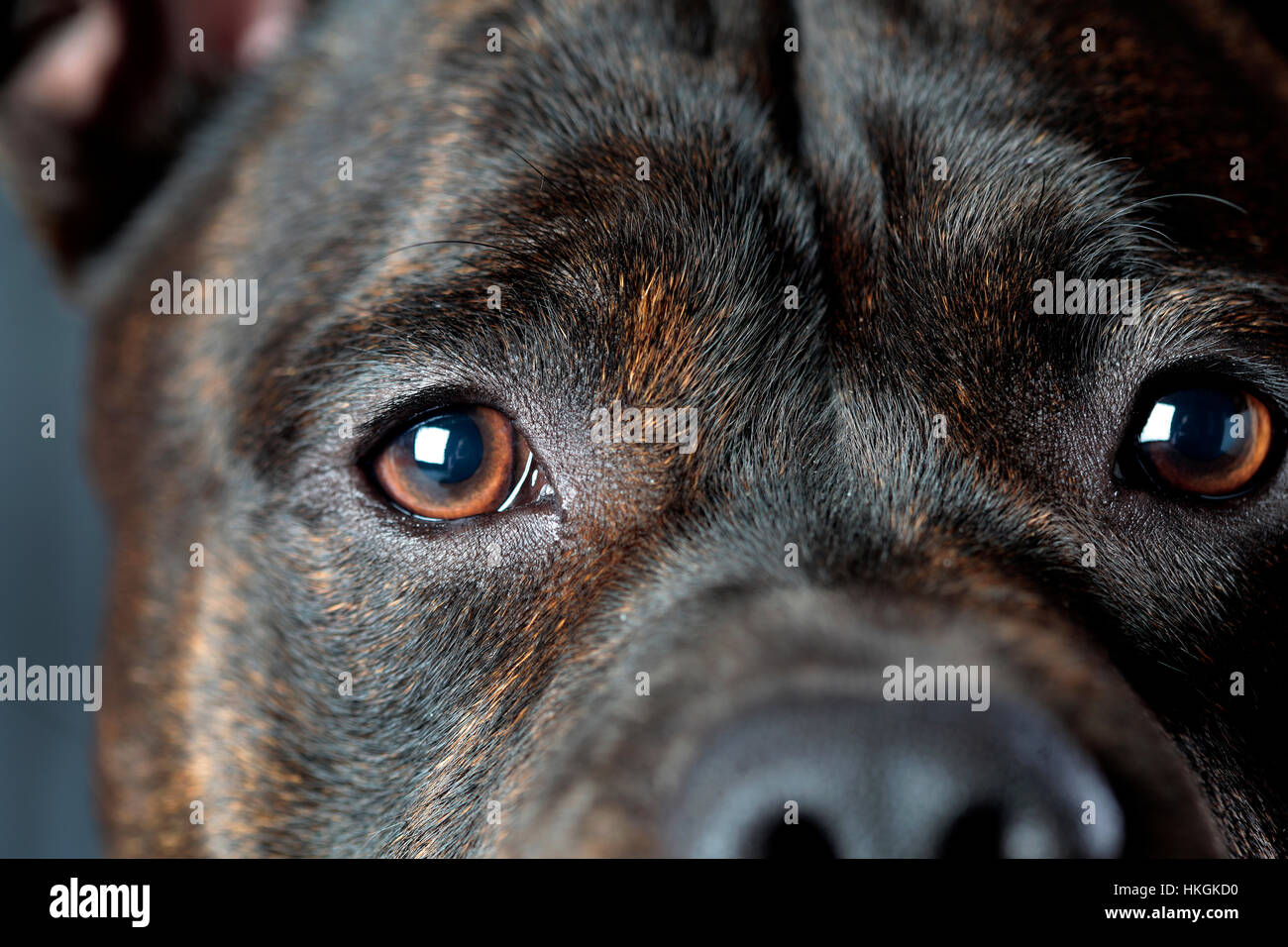 Staffordshire bull terrier dog closeup in studio - Stock Image