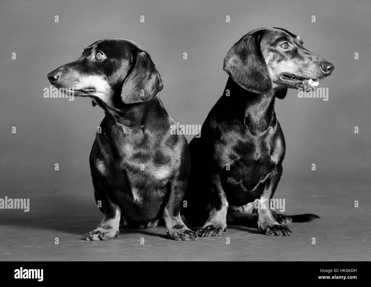 Couple of teckel dog poses in studio together - Stock Image